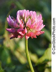 Pink clover flower.