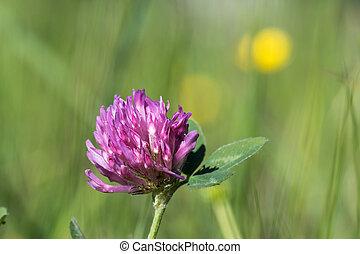 Pink clover flower head