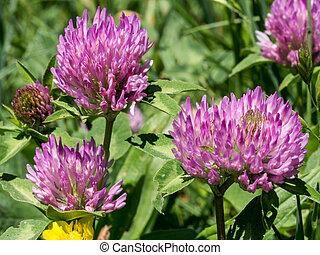 Pink clover flower in meadow