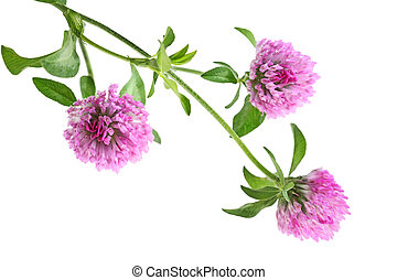 Pink Clover Flower - Pink three leaf clover flower isolated...