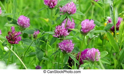 Pink clover flowers - Close view of pink clover flowers on a...