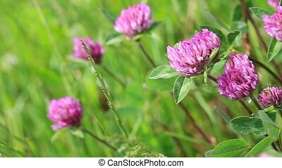 Pink clover flowers in the sunny summer day. - Summer...