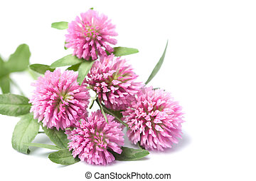 pink clover flowers isolated