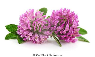 Pink clover flowers.