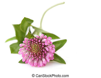 Pink Clover - Pink clover flower isolated on white...