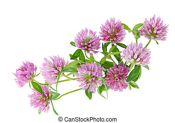 Pink Clover - Bundle of pink clover wild flowers isolated on...