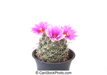 Pink color flower cactus isolated on white background
