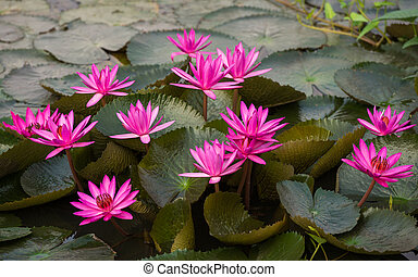 pink color fresh lotus flower blossom - close up pink color...