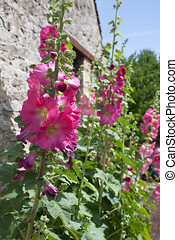 Pink Common hollyhocks growing against an old cottage wall, ...