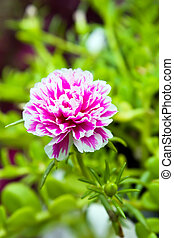 Pink Common Purslane flower