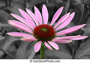Pink coneflower on grey background in summer