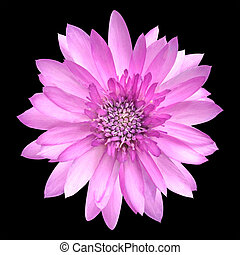Pink Conflower Flower in Full Bloom Isolated on Black...