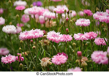 Pink cornflowers in garden