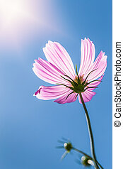 Pink cosmos blossom with blue sky and sunlight - Pink cosmos...