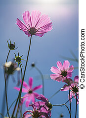 Pink cosmos blossom with sunlight on blue sky - Pink cosmos...