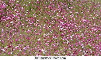 Pink cosmos flower field - Full blooming pink cosmos flower...