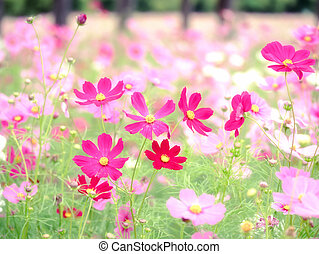 Pink cosmos flowers blooming in the field