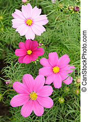 Pink cosmos flowers - Close up of pink cosmos flowers