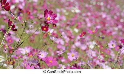 Pink cosmos flowers - Close up pink cosmos flowers in front...