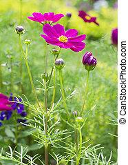 Pink cosmos flowers in garden park background