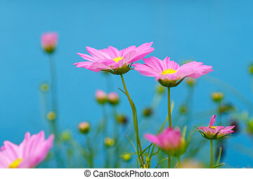 Pink cosmos flowers on a blue background