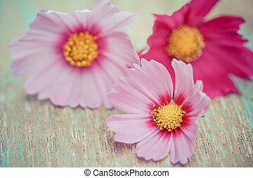 Pink cosmos flowers on a wood background