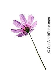 Pink Cosmos Flowers