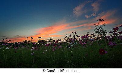 Pink cosmos flowers.