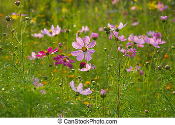 Pink Cosmos in evening