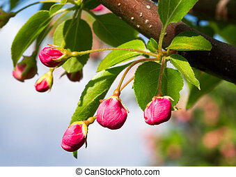 Unopened deep pink crab apple tree flower blossoms are ready to pop open in Spring.