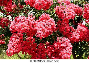 Crepe myrtle tree covered in dark pink flowers