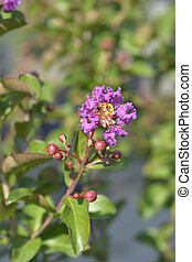 Pink Crepe myrtle - Latin name - Lagerstroemia indica