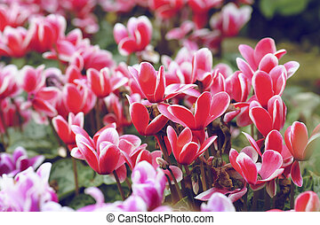 pink cyclamen flower in garden at nature