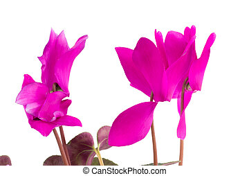 Pink cyclamen flowers with green leaves isolated on white background