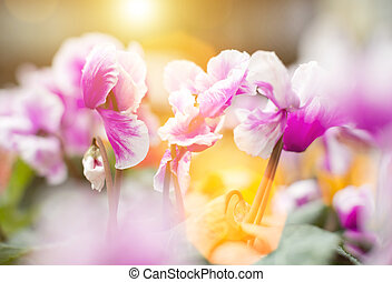 Pink colored Cyclamen Persicum with green leaves