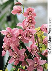 Pink Cymbidium orchid 2