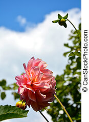 Pink Dahlia flower close-up against the sky and white clouds. Beautiful summer landscape. Flowering shrubs.