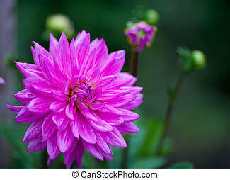 Pink Dahlia flower in full bloom closeup
