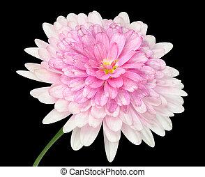Pink Dahlia Flower large center Isolated on black