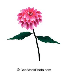 Pink Dahlia Flower on A White Background