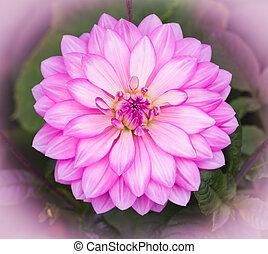 Pink Dahlia Flower - Pink Dahalia flower with white...