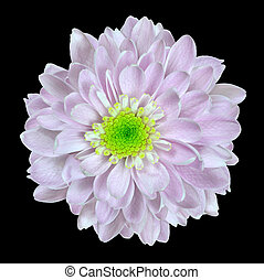 Pink Dahlia Flower with Lime Center Isolated on Black