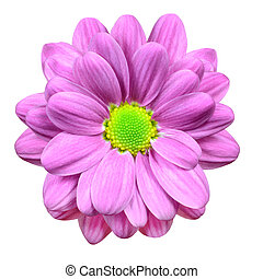 Pink Dahlia Flower with Lime Green Center Isolated -...
