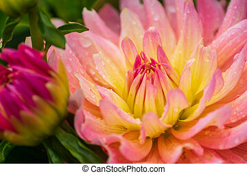 pink dahlia flower with rain drops in the garden, soft focus.