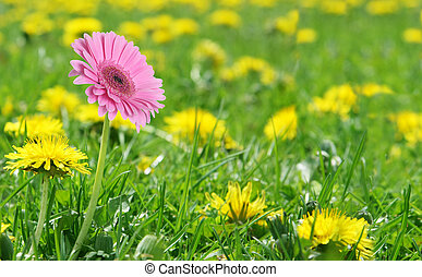 Pink daisy alone - Single pink daisy in a field of...