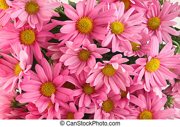 Pink daisy background - Background of pink daisy flowers, a...