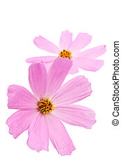 Pink daisy flower isolated