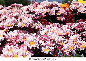 pink daisy flowers in the garden