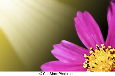 Pink daisy-gerbera