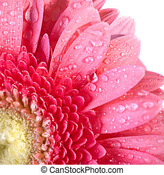 Pink daisy-gerbera with water drops isolated on white